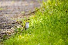 Pardal lascando-se oriental adulto minúsculo visto no perfil em produzir a plumagem que está na terra imagens de stock