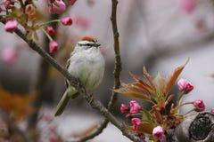 Pardal lascando-se (passerina do passerina do Spizella) Imagens de Stock Royalty Free