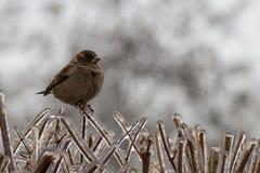 Pardal nos ramos gelo-cobertos de um arbusto Imagens de Stock Royalty Free