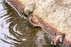 Pardal pequeno que toma um banho em uma lagoa pequena, no parque imagens de stock