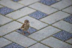 Pardal que senta-se em um passeio de pedra ?rvore no campo Pássaros nas ruas fotos de stock