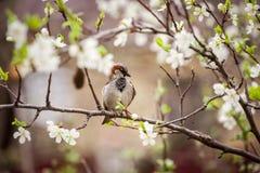 Pardal que senta-se em uma árvore de florescência, pardal na primavera gard Imagens de Stock