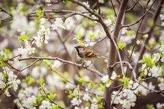 Pardal que senta-se em uma árvore de florescência, pardal na primavera gard Imagem de Stock