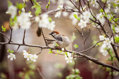 Pardal que senta-se em uma árvore de florescência, pardal na primavera gard Fotos de Stock Royalty Free