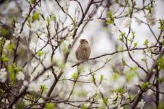 Pardal que senta-se em uma árvore de florescência, pardal na primavera gard Foto de Stock