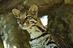 Pardalis de Leopardus Image libre de droits