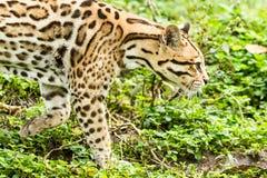 Pardalis de Leopardus do ocelote fotografia de stock royalty free