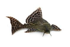 Pardalis de Pterygoplichthys de los pescados de Hypostomus Plecostomus del siluro de Pleco Foto de archivo libre de regalías
