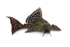 Pardalis de Pterygoplichthys de poissons de Hypostomus Plecostomus de poisson-chat de Pleco Photo libre de droits