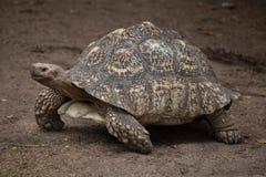 Pardalis de Stigmochelys de tortue de léopard photo libre de droits