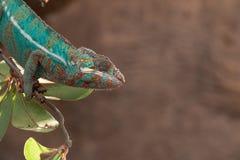 Pardalis di Furcifer del camaleonte della pantera dal Madagascar, appollaiato su un ramo fotografia stock libera da diritti