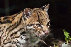 Pardalis di Leopardus dell'ozelot Immagine Stock Libera da Diritti
