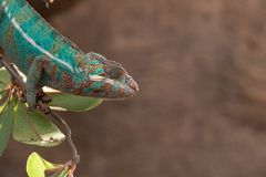 Pardalis Furcifer χαμαιλεόντων πάνθηρων από τη Μαδαγασκάρη, που σκαρφαλώνει σε έναν κλάδο στοκ φωτογραφία με δικαίωμα ελεύθερης χρήσης