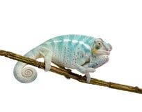 pardalis furcifer хамелеона nosy молодые стоковые изображения rf