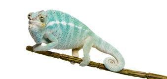 pardalis furcifer хамелеона nosy молодые стоковые изображения