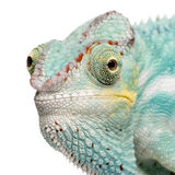 pardalis furcifer хамелеона nosy молодые стоковая фотография