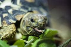 Черепаха горы или леопарда (pardalis Geochelone) Стоковое Изображение