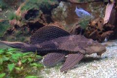 pardalis plecostomus pterygoplichthys 免版税库存照片