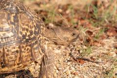 Pardalis Stigmochelys черепахи леопарда стоковые изображения rf