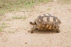 Pardalis Stigmochelys черепахи леопарда стоковые фото