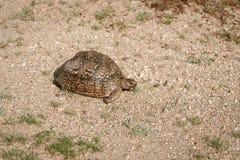 Pardalis Stigmochelys черепахи леопарда стоковое изображение rf