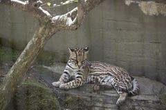 Pardalis van ocelotleopardus stock afbeelding