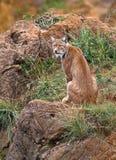 Pardinus de lynx Images stock