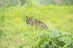Pardinus de Lynx, lynx ibérien Photo libre de droits