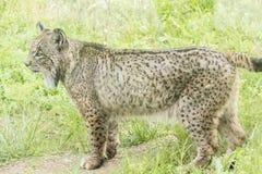 Pardinus de Lynx, lynx ibérien Images stock