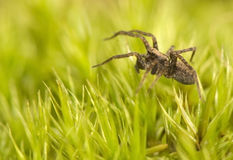 Pardosa Royalty Free Stock Photography