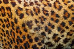 豹子毛皮细节  免版税库存图片