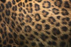 北部中国豹子(豹属pardus japonensis)毛皮纹理 库存照片
