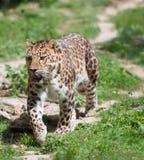 Pardus Panthera Στοκ φωτογραφίες με δικαίωμα ελεύθερης χρήσης