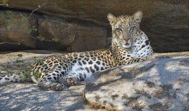 Pardus van luipaardpanthera Royalty-vrije Stock Afbeeldingen