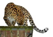 Pardusorientalis van Panthera van de Amurluipaard bevindt zich op houten platform royalty-vrije stock foto's
