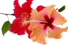 Pare das flores vermelhas e alaranjadas do hibiscus Fotos de Stock Royalty Free