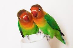 Pare dos papagaios Imagens de Stock