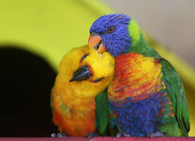 pare parrots Arkivfoto