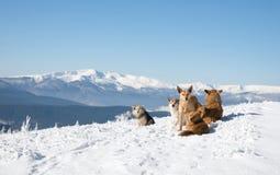 Parecchi cani che si siedono sul fondo del paesaggio della montagna Fotografie Stock Libere da Diritti