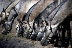 Parecchi cavalli che mangiano erba asciutta Fotografia Stock Libera da Diritti