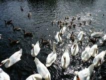 Parecchi cigni ed anatre su un fiume Immagini Stock