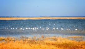 Cigni su un lago Immagine Stock Libera da Diritti
