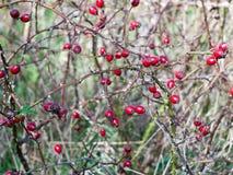 Parecchi cinorrodi maturi freschi rossi sul berri di frutti di autunno dei rami Immagine Stock