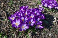 Parecchi fiori del croco aperti Fotografia Stock Libera da Diritti