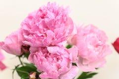 Parecchi fiori rosa della peonia Fotografia Stock Libera da Diritti