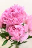 Parecchi fiori rosa della peonia Fotografie Stock