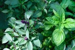 Parecchi generi di basilico si sviluppano nel giardino Basilico porpora e verde fotografia stock libera da diritti