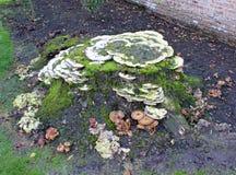 Parecchi generi di funghi si sviluppano su un albero conciano con il mosto all'arboreto di Arley nelle parti centrali in Inghilte fotografie stock