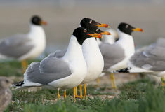Parecchi pallass gull alla luce molle di mattina dal delta del Danubio fotografia stock libera da diritti