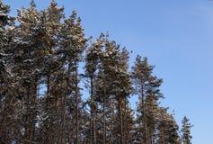 Parecchi pini un giorno nevoso in Russia Fotografie Stock Libere da Diritti